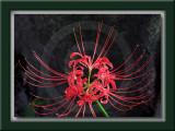 Red Spider Lily - 상사화