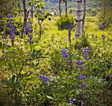 Acadia, Birches and Lupines