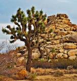 Joshua Tree and Rocks