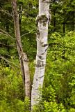Acadia Birch