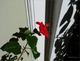 lonely hibiscus baby.jpg