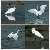 Dance of the Little Egret