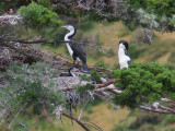 5 Dec 07 - 2 shags guarding a nest - note the young one!