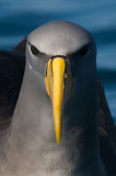 One of the two critically endangered Albatrosses on the IUCN Red List