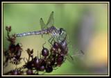 BLUE DASHER DRAGONFLY-6531.jpg