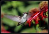 HUMMINGBIRD-6685.jpg