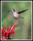 HUMMINGBIRD-6681ab.jpg