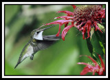 HUMMINGBIRD-6729.jpg