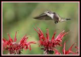HUMMINGBIRD-6679.jpg