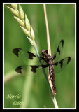 COMMON WHITETAIL DRAGONFLY-5096.jpg