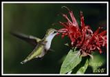 HUMMINGBIRD-6708.jpg