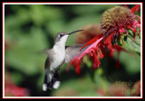 HUMMINGBIRD-6686.jpg