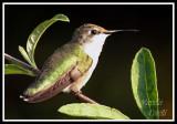 HUMMINGBIRD-7022a.jpg