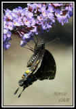 BLACK SWALLOWTAIL-7138.jpg