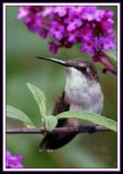 HUMMINGBIRD-7294a.jpg