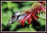 HUMMINGBIRD-6687.jpg