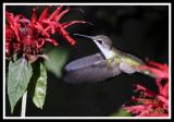 HUMMINGBIRD-6712.jpg