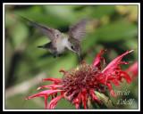HUMMINGBIRD-6727.jpg