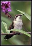 HUMMINGBIRD-7295.jpg