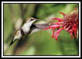 HUMMINGBIRD-6728.jpg