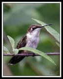 HUMMINGBIRD-7287.jpg