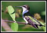 HUMMINGBIRD-7453.jpg