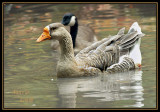GREATER WHITE FRONTED GOOSE-1426.jpg