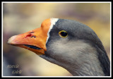 GREATER WHITE FRONTED GOOSE-1470a.jpg