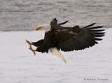 Bald Eagle - coming in for landing