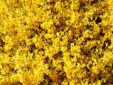 2009-05-02 Yellow flowers