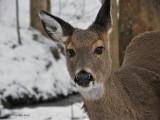 Whitetail Deer in WV ~ 2009