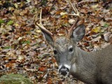 WV Whitetail Deer ~ July-Oct 2009