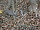 Whitetail Bucks ~ The challenge