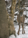 WV Whitetail Deer ~ Nov 29-Dec 28th, 2009