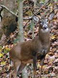 WV Whitetail Deer  ~ 2007