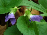 WV Wildflowers ~ April, 2008