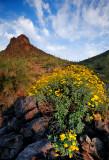 Wildflower display at Picacho Peak