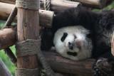 Panda Snooze  (c1x2-040410-24.jpg)
