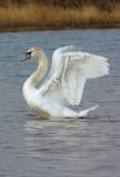 mute swan pen