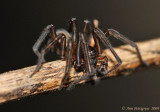 Hackledmesh Weaver (Family Amaurobiidae)