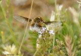 French Bee Fly