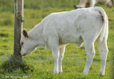 French Calf