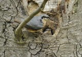 Parent & Fledgling Nuthatch