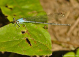 Blue-fronted Damselfly