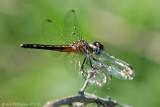 Blue Dasher - Female