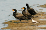 Double-crested Cormorants & Black-bellied Plover