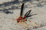 Paper Wasp (Polistes annula)