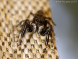 Jumping Spider sp.