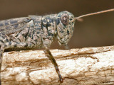 Pinetree Spurthroated Grasshopper