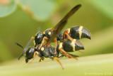 Potter Wasps